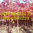 黑胡桃基地\胸径11厘米公分秋日梦幻红枫\大果栎产地\银红槭