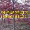 银白槭银皇后价格|美国红枫十月光辉苗圃|黑胡桃树在哪里有