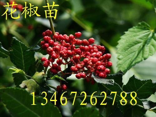 花椒苗~1