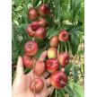 纽扣蟠桃是什么品种好吃吗如何种植