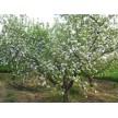 大量供应河北保定绿化苹果树 规格齐全 包上车