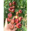 纽扣蟠桃如何种植纽扣蟠桃是一种什么样的桃子