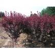 紫叶矮樱2-4公分3万棵