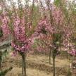 西府海棠6-9公分5000棵