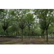 山东地区哪里能采购到大规格皂角树