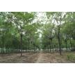 大规格皂角树适合用来做什么绿化项目