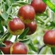 无核大红枣、二代沾化冬枣、超甜金丝枣、沾化冬枣各种枣大量供应