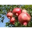 突尼斯软籽石榴、美国大黑籽石榴、中农红软籽等各种石榴大量供应
