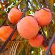 富有、阳丰、新秋、黑柿、贵秋、次郎、大方柿等各种甜柿供应