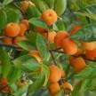 红丰甜杏、金太阳、金杏梅、凯特杏、新世纪等各种杏大量供应