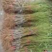 8518早实芽变种、香玲、清香等各种果树苗种子