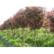 精品高杆红叶石楠大量供应,欢迎前来选购!