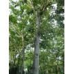 精品2-20公分榉树大量供应,欢迎前来选购!
