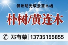 滁州明光驭景苗木场